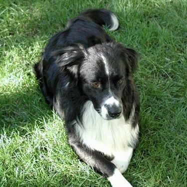 Charlie  a Border Collie   Bernese mix  Bordernese Bernese Mountain Dog Collie Mix