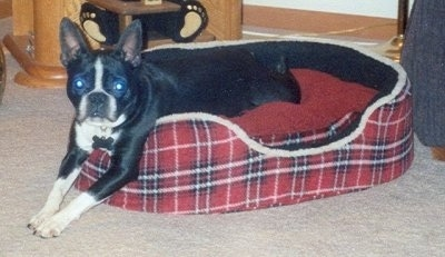 Hunny the Boston Terrier laying in a plaid red dog bed