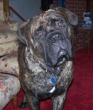 Charlie the Bullmastiff standing on a red carpet next to a tan ottoman with a flower pattern on it. Charlies head is tilted to the left