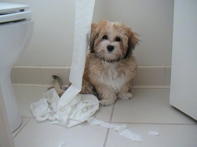 Zoe the Havanese puppy is sitting in a bathroom next to the toilet paper that has been pulled from the roll and his hanging in a pile on the floor