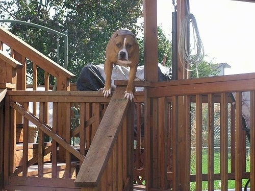 Close Up - Petey the Pit Bull is standing on a wooden railing next to a Gazebo