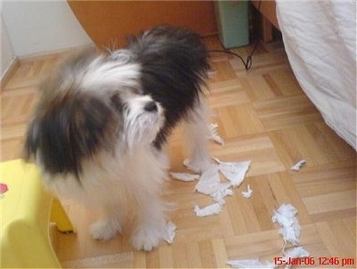 Vausch, the Pomeranian / Shih Tzu mix (Shiranian) Caught in the Act!