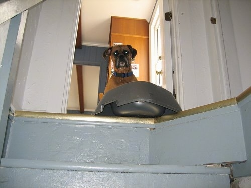 Allie the Boxer is looking down a stairwell with a food bowl on the edge of the first step