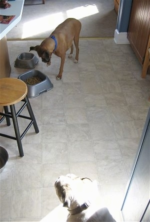Allie the Boxer is trying to knock over the food bowl and Spike the Bulldog just watches in a corner