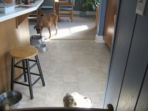 Allie the Boxer is walking to the Food Bowl with her head down eyeing up Spike.
