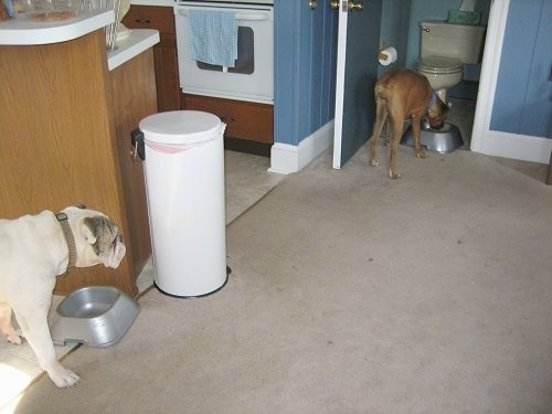Allie the Boxer pushed the food bowl into a bathroom. Spike the Bulldog is watching from behind a cabinet