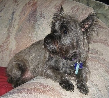 Whitty-Sue the Cairn Terrier is leaning against a couch arm and looking behind her