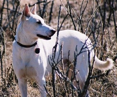 Maccabee the Canaan Dog is looking to the right and standing in a field of sticks