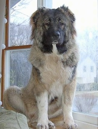 Anchara the Caucasian Shepherd is sitting on a window sill next to a couch