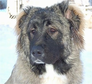 Close Up - Anchara the Caucasian Shepherd is sitting outside. The background is overexposed