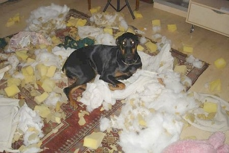 Pia Ecko the Dobermann/German Shepherd mix is laying on a rug which is riddled with cotton and foam from pillows.