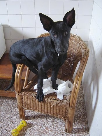 Tito, the black Belgian Malinois at 5 months old caught in the act of chewing toilet paper and the chair!