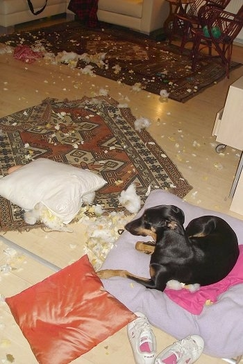 Pia Ecko, the Dobermann / GSD mix at 9 months old - Caught tearing to shreds a pillow a few times.