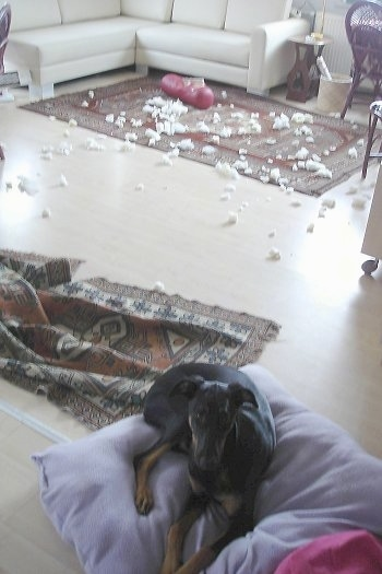Pia Ecko the Dobermann/German Shepherd mix is laying on a pillow and looking towards the camera holder. The Rug behind it has scattered pieces of stuffing and foam from a destroyed pillow
