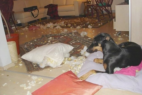 Pia Ecko the Dobermann/German Shepherd mix is laying on a pillow in front of a rug with stuffing and foam scattered all over the living room