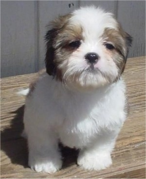 week old Cava-Tzu puppy (Cavalier King Charles Spaniel / Shih-Tzu mix