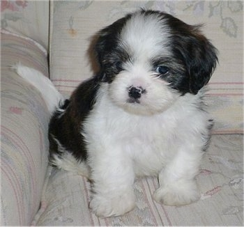 Shih  Puppies on Week Old Cava Tzu Puppy  Cavalier King Charles Spaniel   Shih Tzu Mix