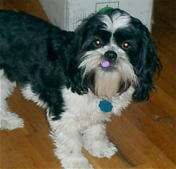 Best ideas about Shih Tzu Mix on Pinterest   Shih tzu maltese     Your Purebred Puppy
