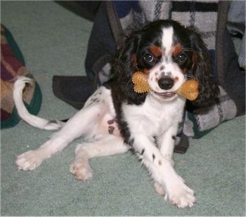 Kirby the Cavalier King Charles Spaniel is sitting on a carpet with a rubber bone in its mouth