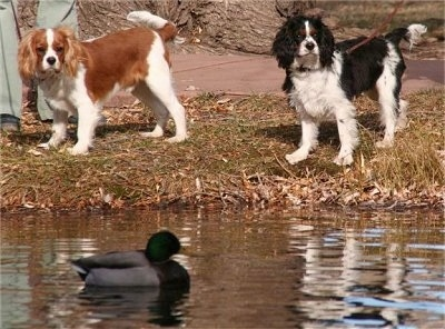 Rusty and Kirby the Cavalier King Charles Spaniels are at the side of a pond and looking at a duck swimming in a pond