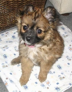 Cavalier King Charles Spaniel / Pomeranian mix (Cavapom) puppy weighing in at only 3 pounds