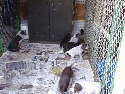 Cesky Fousek Puppies grouping off and going into corners of there dog kennel