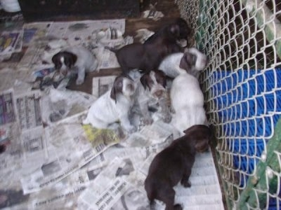 Seven Cesky Fousek puppies inside an outdoor newspaper covered dog kennel