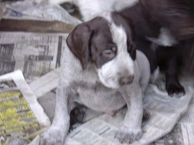 Close Up - Cesky Fousek Puppy is sitting on newspaper