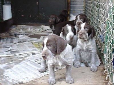 Seven Cesky Fousek Puppies standing and sitting in front of a chain link fence inside of an outdoor dog kennel