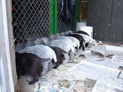 Nine Cesky Fousek Puppies eating out of metal food tins on top of newspapers