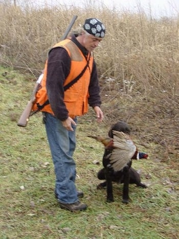 A person wearing an orange vest and wearing a rifle is standing next to a Cesky Fousek sitting in grass with a dead pheasant in its mouth
