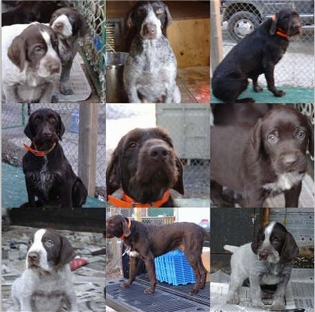 A Collage of photos. Top Left - Two Cesky Fousek Puppies are sitting in a pen. Top Middle - Cesky Fousek is sitting next to a pail. Top Right - Cesky Fousek is sitting in front of a chain link fence. Middle Left - Cesky Fousek is sitting on a green surface. Middle Middle - Close Up - Cesky Fousek sitting in front of a chain link fence. Middle Right - Close Up - Cesky Fousek Puppy. Bottom Left - A Cesky Fousek Puppy is sitting on newspapers. Bottom Middle - Cesky Fousek is standing in a truck bed. Bottom Right - Cesky Fousek Puppy is sitting on newspapers in front of a wooden building