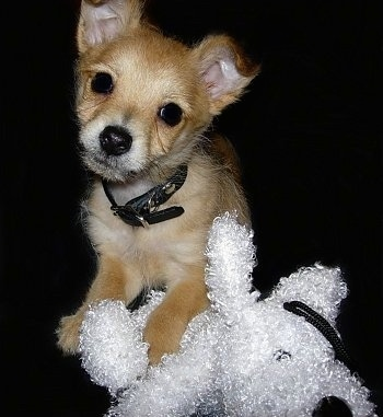 Harley the tan Chi-Poo puppy is laying down with a paw over a white plush toy.