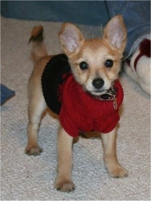 Harley the Chi-Poo Puppy is wearing a red and black sweater and standing on a carpet in front of a person