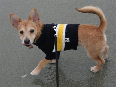 Harley the Chi-Poo puppy is walking around on a wet ground wearing a black, yellow and white Sweater. He is licking his own nose