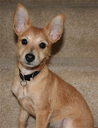 Harley the tan Chi-Poo Puppy is sitting at the bottom of a set of tan carpeted stairs and looking to the camera holder