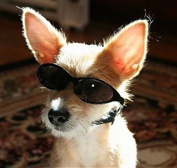 Close Up - Harley the tan Chi-Poo is sitting on a carpet and wearing a pair of black sunglasses