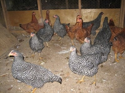 Barred Rock (Black) and New Hampshire Red Chickens are standing and looking around the barn they are in.