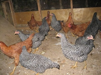 A brood of chickens are standing inside of a barn. Half of them are reddish-brown and the other half are black and white.