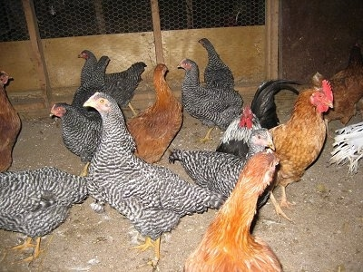 A brood of Barred Rock, New Hampshire Red and Rhode Island Red chickens are standing in a barn on a dirt surface. There is a Banty Rooster mixed in there.