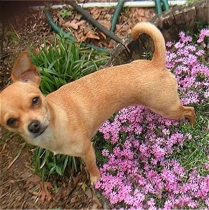 Daisy the Chihuahua is standing in a bed of flowers and looking up to the camera holder