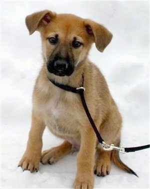 Hurricane Kodiac Bear the Chinook as a young puppy sitting outside in the snow while on a black leash.