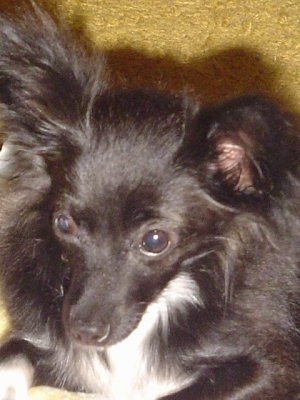 Nada, the Papillon, Chihuahua mix (Chion) at 1 year and 2 months old ...