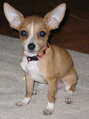 Ruby, the Chipin. She is ¾ Chihuahua and ¼ Min Pin
