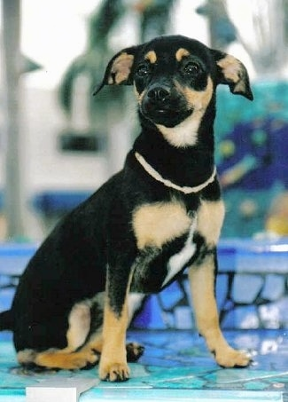 Minnie the Chipin puppy (Chihuahua Min Pin mix) at 6 months old.
