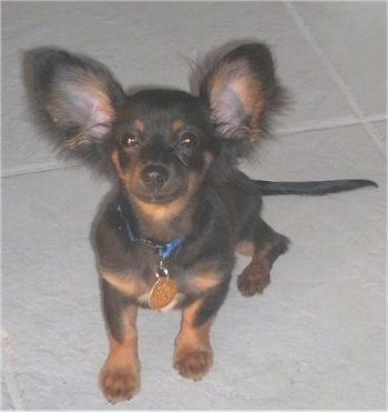 Gus the Chiweenie as a puppy is sitting inside one of the tiles on a white tiled floor