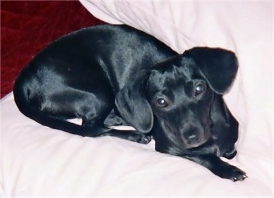 Hope the black, drop-eared Chiweenie is laying on a white blanket and looking up at the camera holder