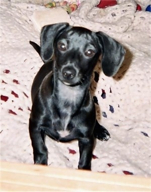 Hope the Chihuahua / Dachshund mix (Chiweenie)