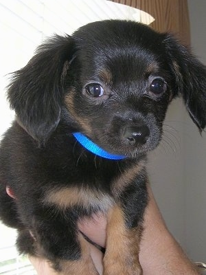 Gus, the Dachshund / Chihuahua mix (Chiweenie) at 2 months old
