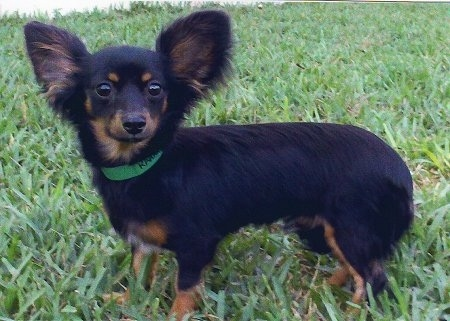 Gus the black and tan medium haired Chiweenie is standing outside in grass. Gus is looking towards the camera holder